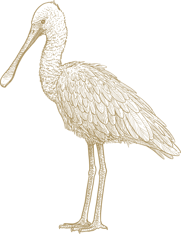 Spoonbill illustration
