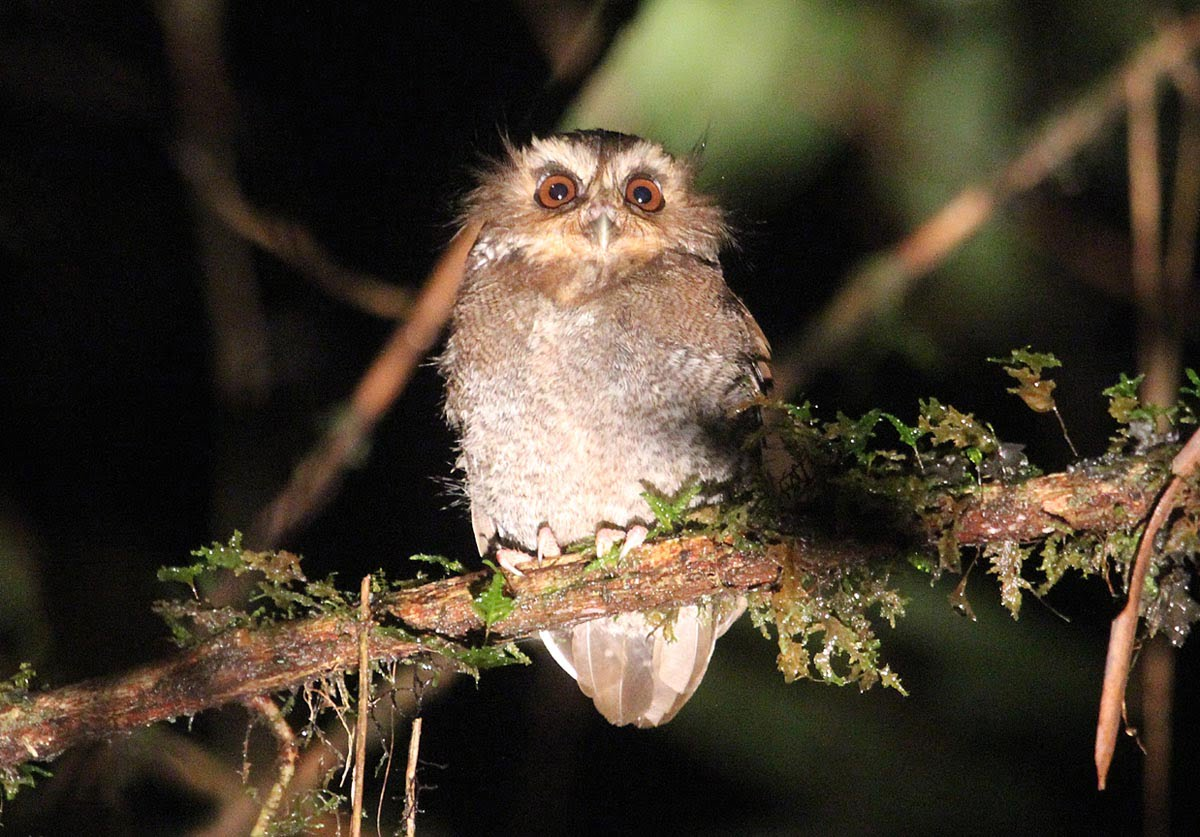 Long-whiskered Owlet – Abra Patricia, North Peru, 2012
